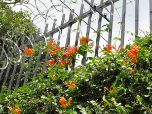 Orange trumpet flowers on thorns